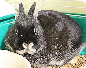 Paris, ME - Netherland Dwarf. Meet TINA-rabbit, a pet for adoption. http://www.adoptapet.com/pet/10601949-paris-maine-rabbit