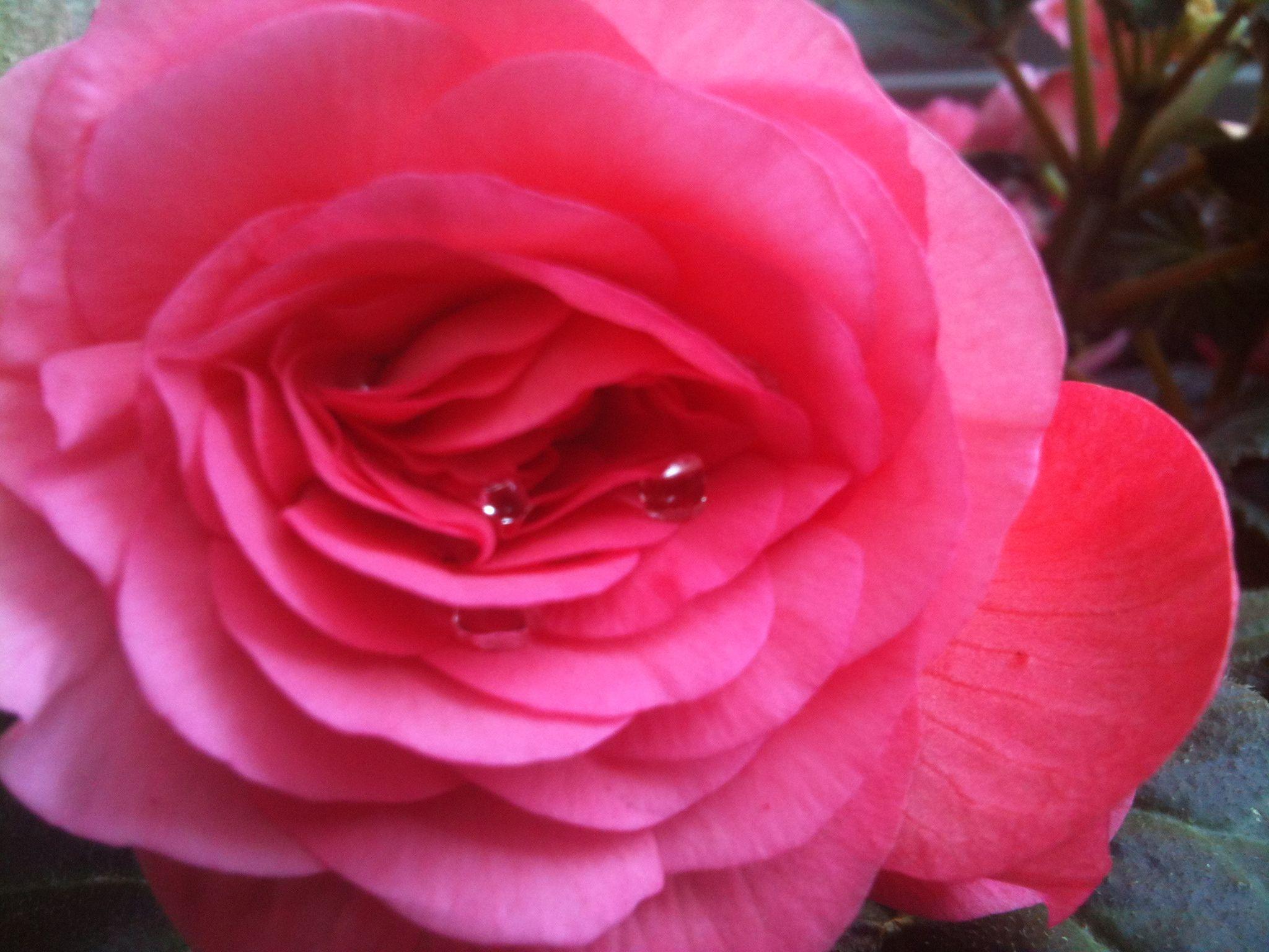 Begonia's dewdrop.  By Eira B-L.