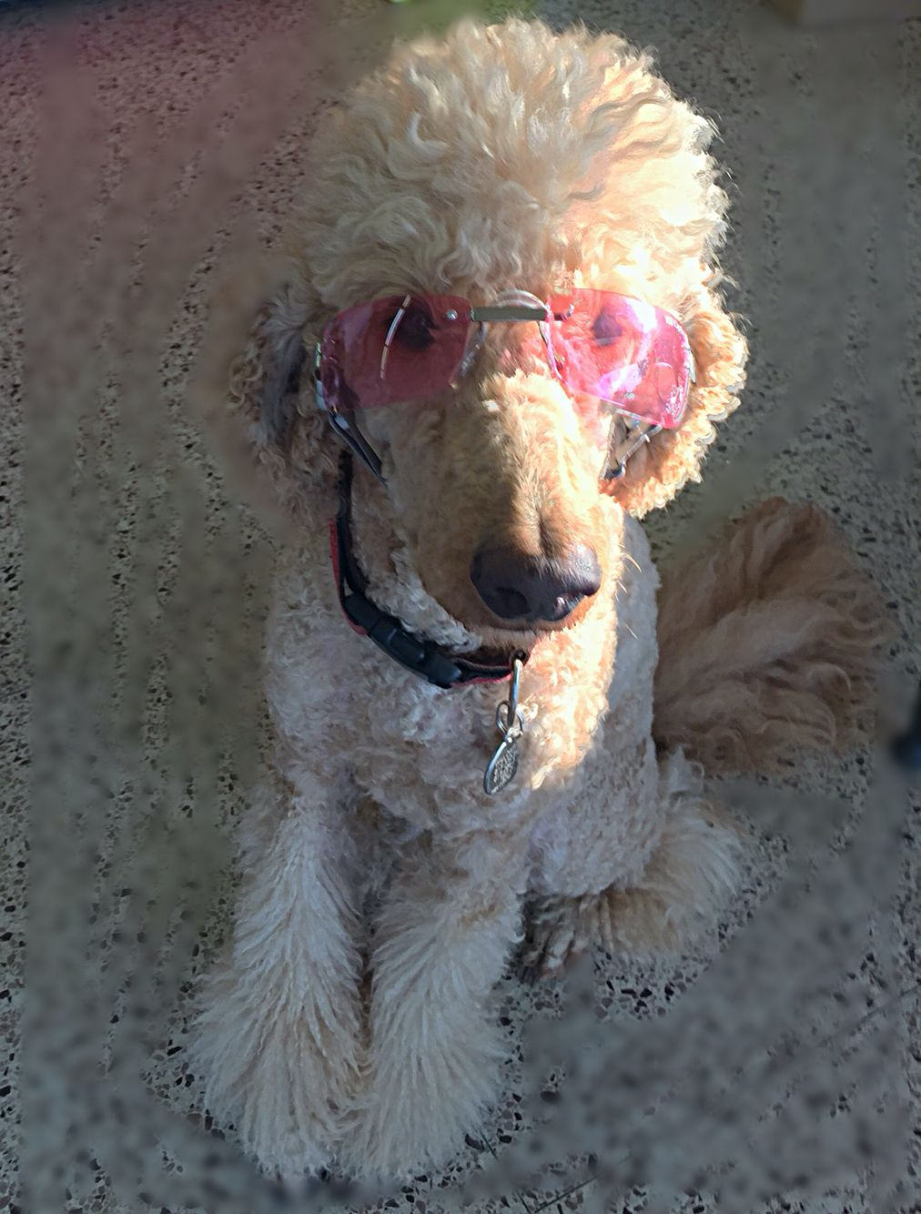 Groovy. Poodle dog, Puppy photos, Standard poodle