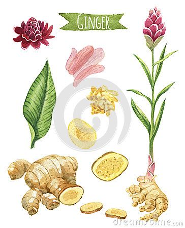 Ginger Hand Painted Watercolor Set Herbs Illustration Ginger