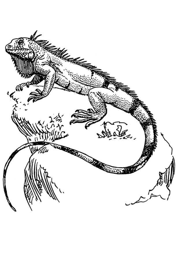 Resultado De Imagen Para Dibujos De Iguanas Iguana Animal