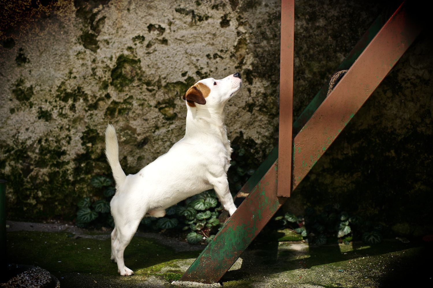 My Dog Mr Spock 2 Years Old Jack Russell Terrier Jack Russell Jack Russell Dogs Dog Friends