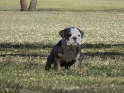 Litter of 3 Bulldog puppies for sale in EL PASO, TX. ADN