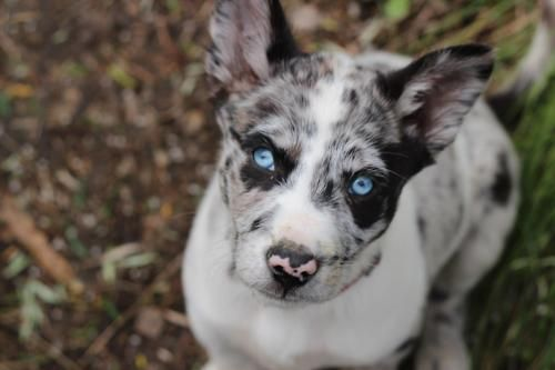 Koolie Pup With Beautiful Blue Eyes Koolie Dog Australian Dog Breeds Dogs