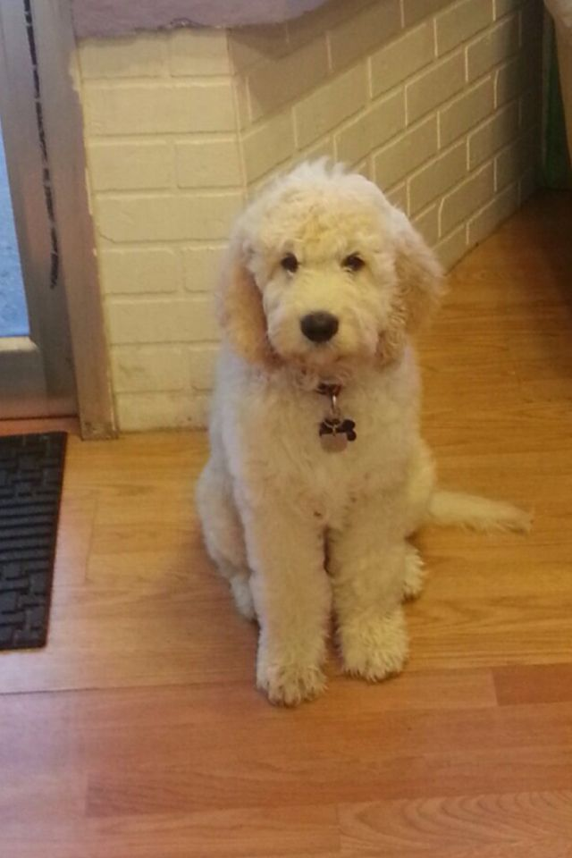 Clyde The Golden Doodle After His Bath Goldendoodle Grooming