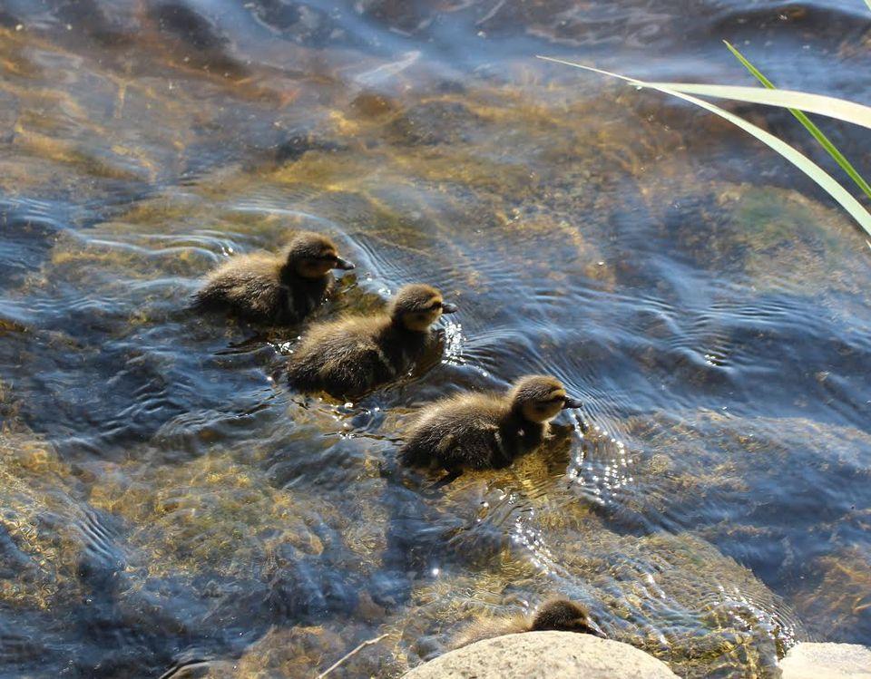 Young ducks swimming Irja Lehtinen
