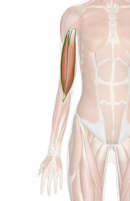 Vista 3 Bíceps braquial | Medicina | Pinterest