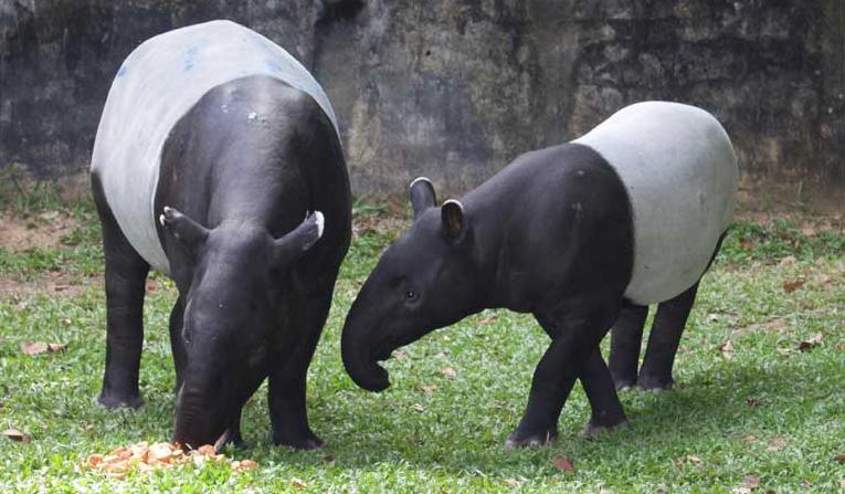 National Animal Of Belize National Animal Tapir Animals