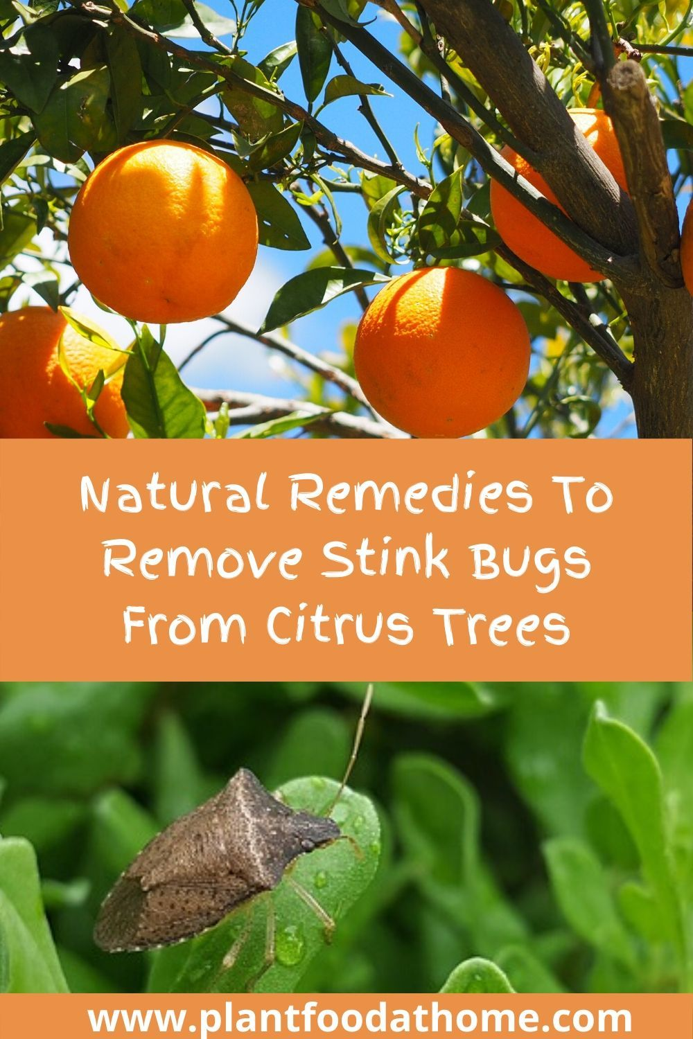 Natural Remedies To Remove Stink Bugs From Citrus Trees Citrus Trees Stink Bugs Citrus