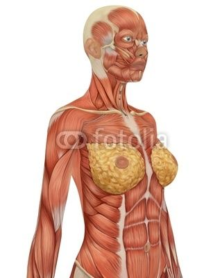 female muscular anatomy upper body side view