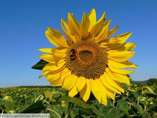 Flowers Around The World The National Flower Ever Country U Medicinal Herbs Flowers Sunflower