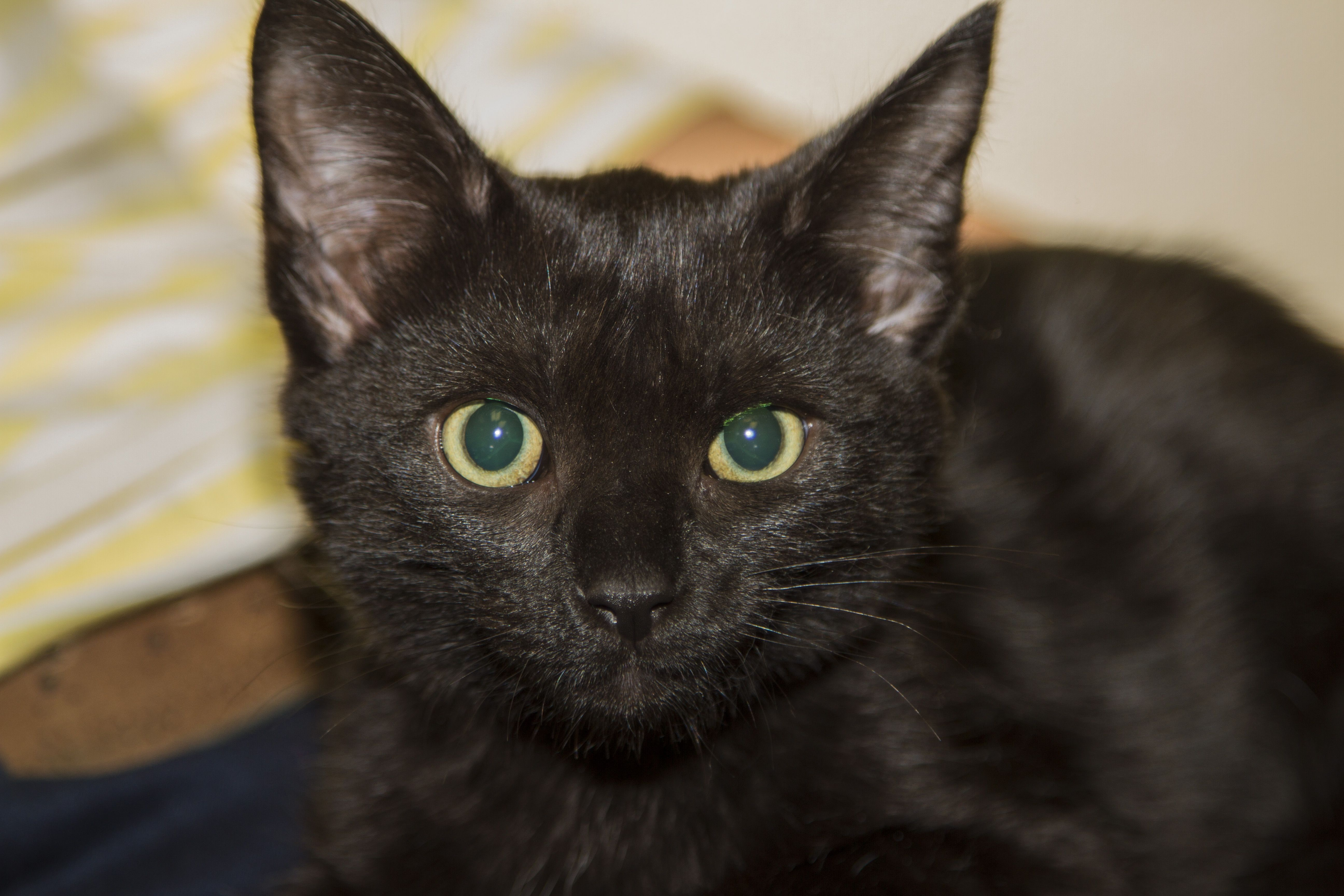Jinx Lucky is a black kitten with a lovely personality!