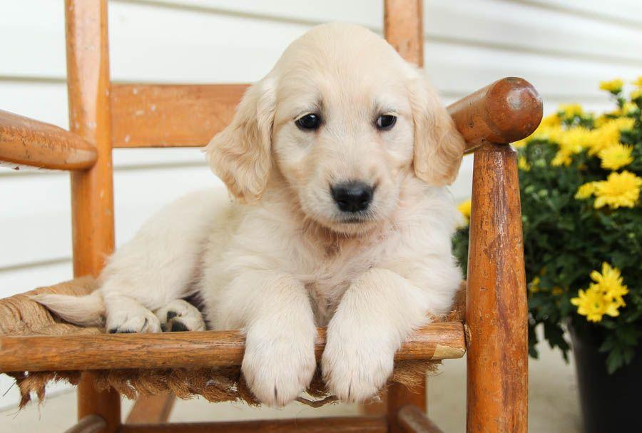 Cheerful Goldenretriever Lancaster Puppies Dog Breeder