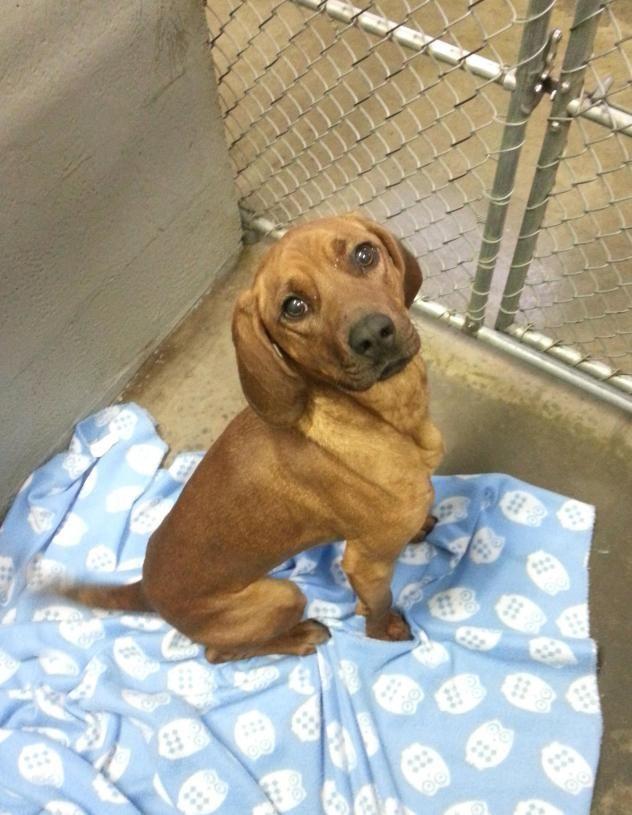 Redbone Coonhound Beagle Mix M Named Bones In Edinburg Va