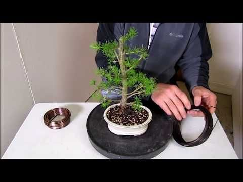 how to make a bonsai step by step beginners guide to wiring trees rh pinterest com au Japanese Bonsai Trees Bonsai Wiring Tips