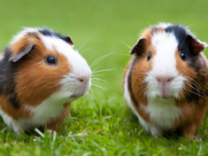 Love our GUINEA PIGS
