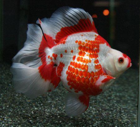 ryukin goldfish | ryukin goldfish | Tumblr | Freshwater ...