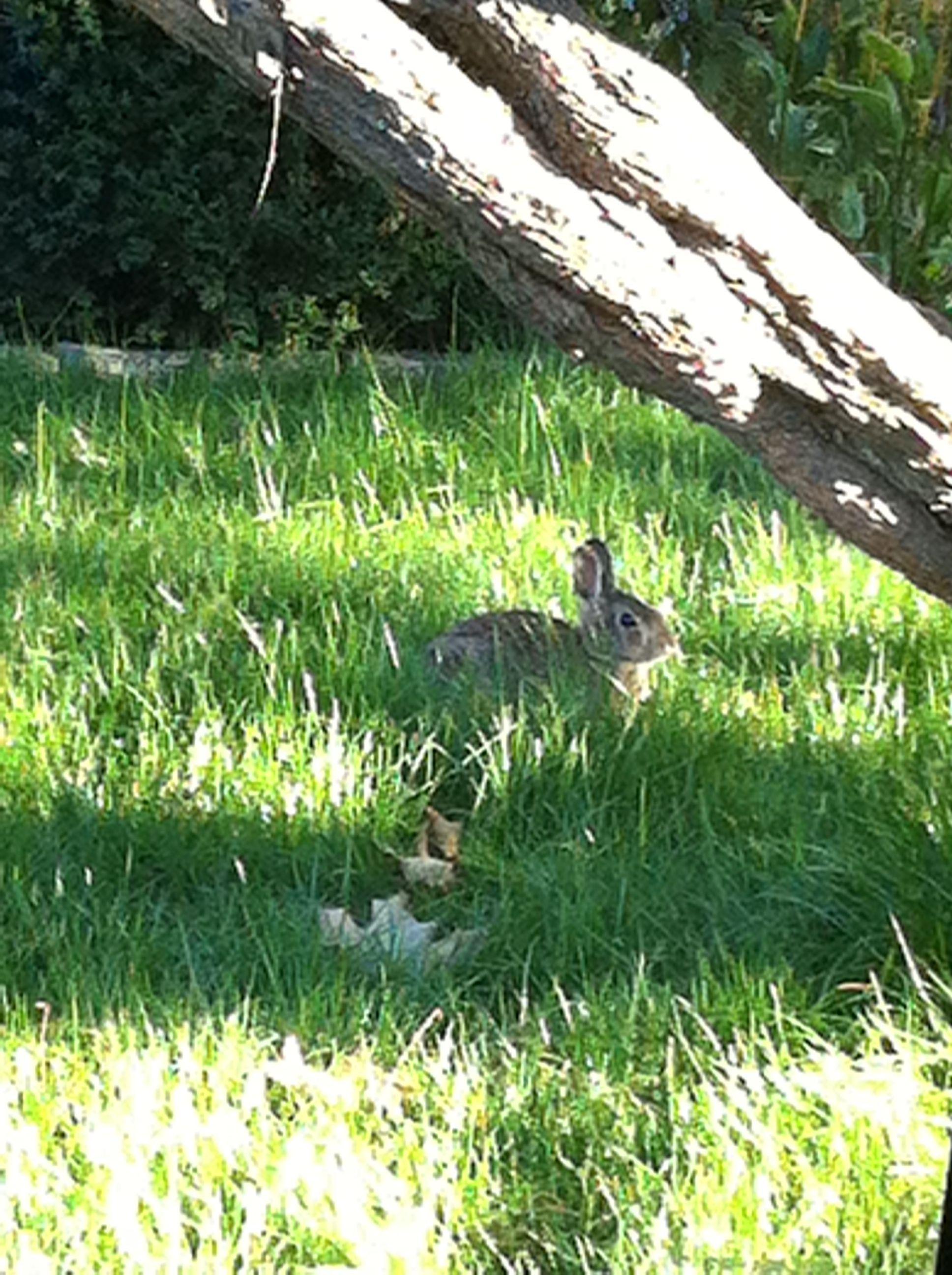 Bunny in my front yard. :)  Credits: A. Haworth 2013
