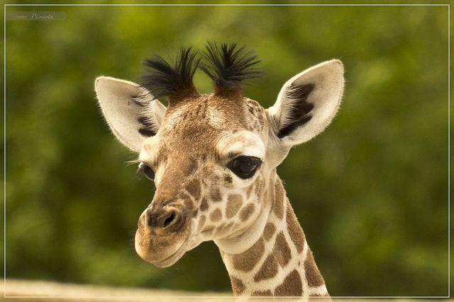 20 days old baby giraffe
