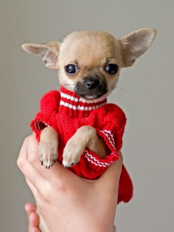 Chihuahua Puppy In Red Sweater Love Cute Animals Chihuahua