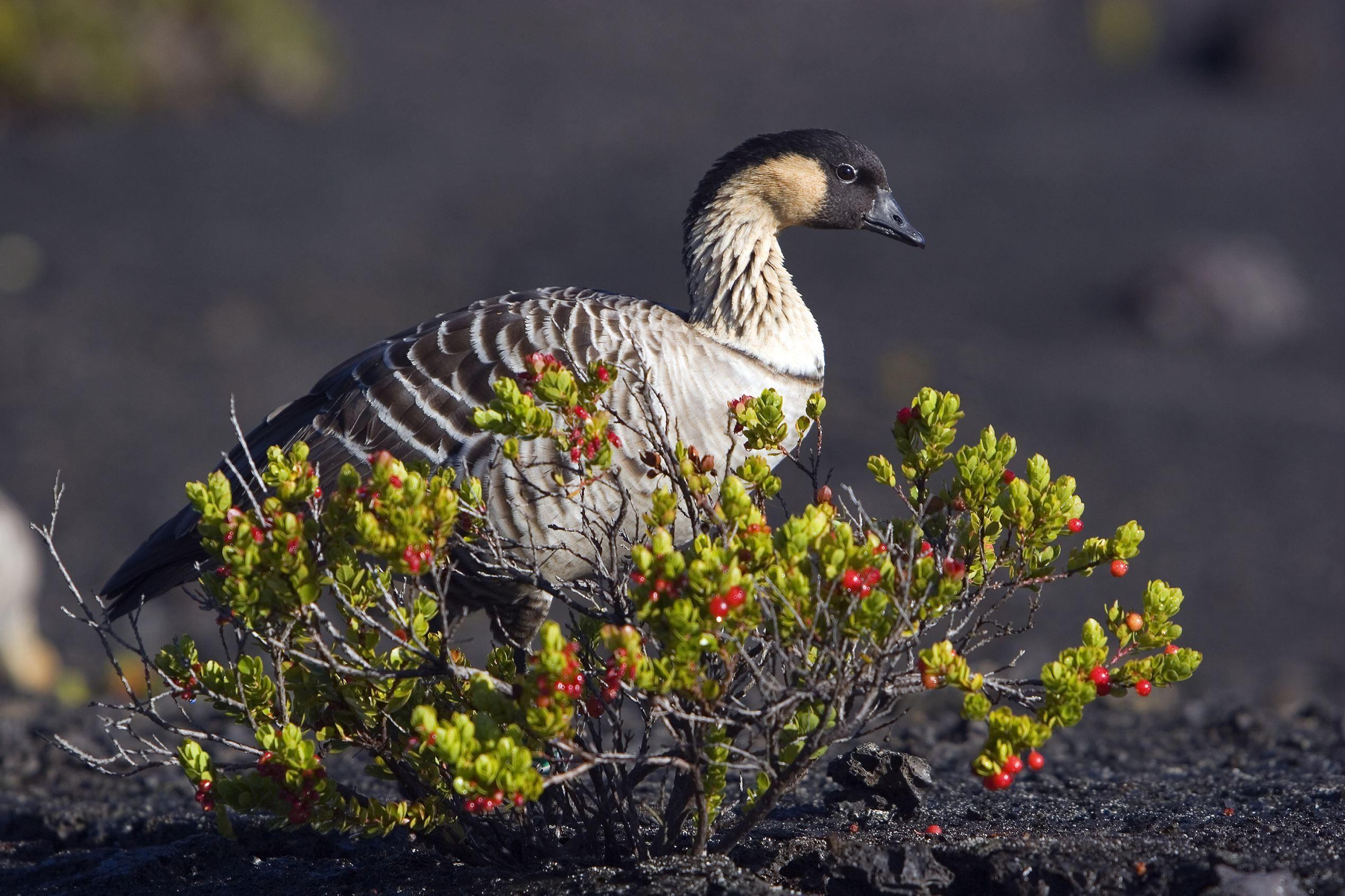 HAWAII Nēnē (aka Hawaiian goose). Adopted 1957Official Birds of Every State