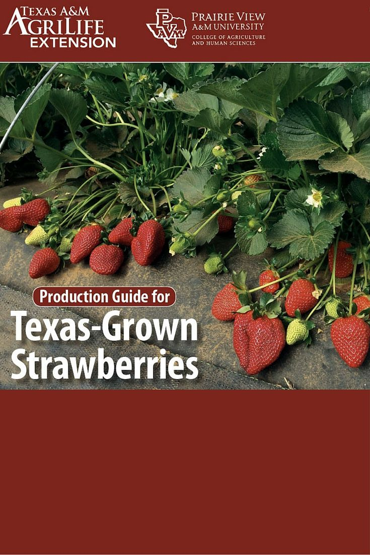 How To Grow Strawberries In Texas Guide Growing Strawberries When To Plant Strawberries Blueberry Plant