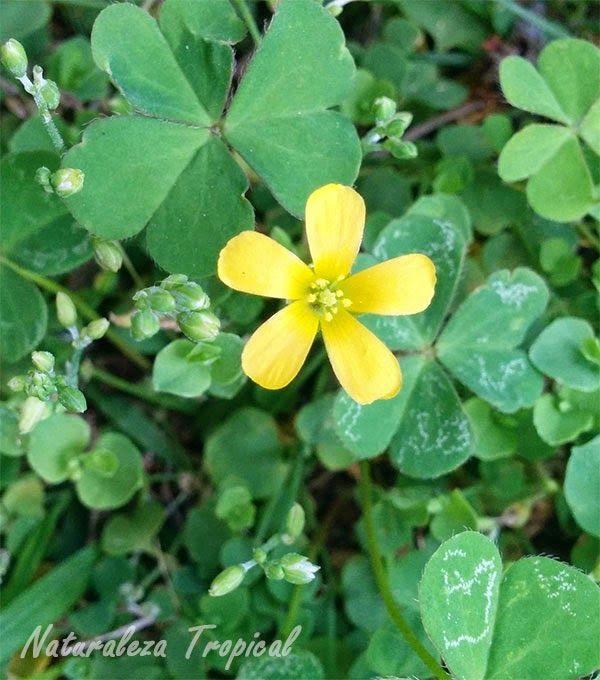 Variedad Amarilla De La Flor De Oca Genero Oxalis Plantas Y