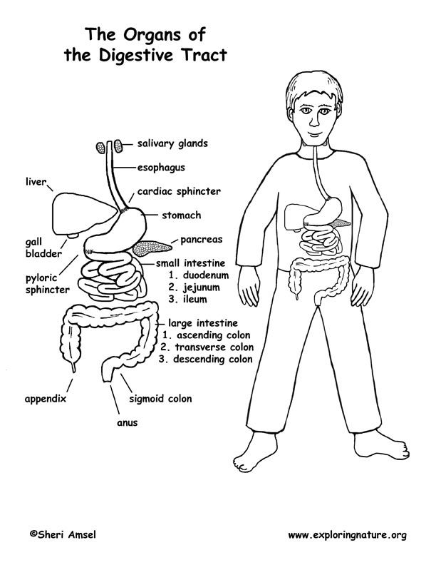 color the parts of the digestive tract