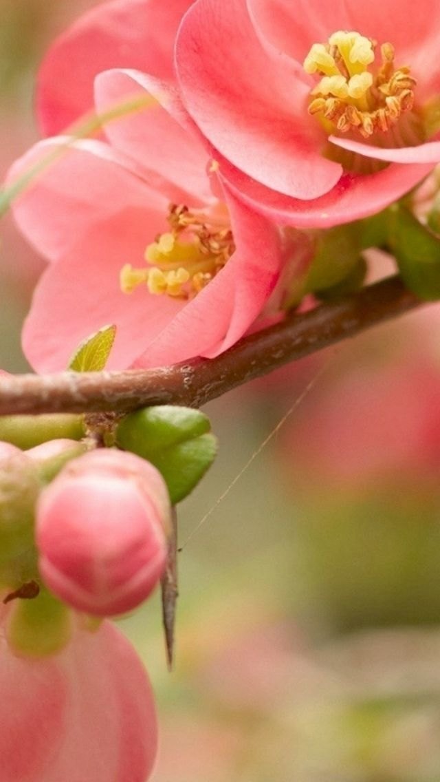 Flower Blossom Pink Branch Bright IPhone 5s Wallpaper