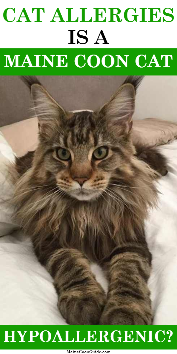 Pin On Maine Coon Cats Hypoallergenic