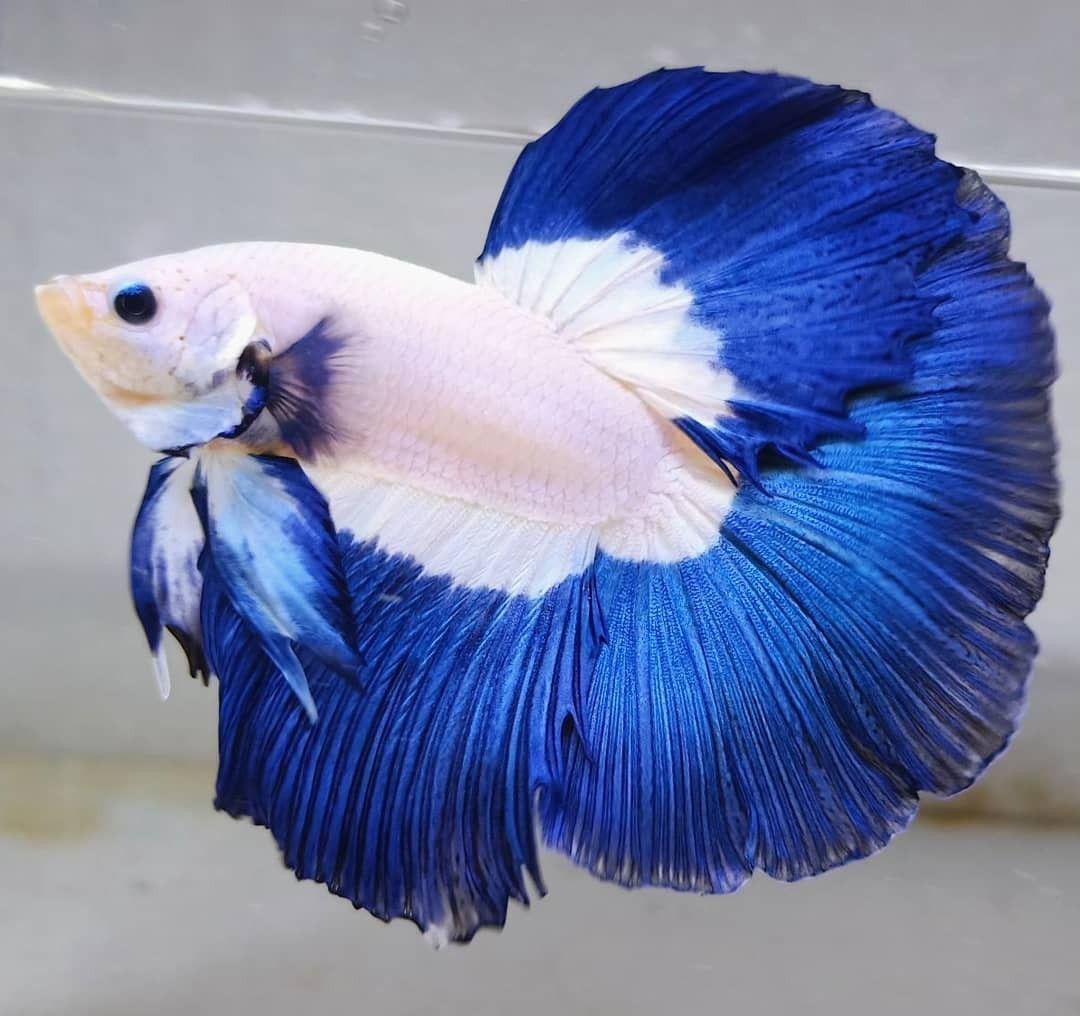 𝗛𝗮𝗹𝗳𝗺𝗼𝗼𝗻 𝗕𝗹𝘂𝗲 𝗥𝗶𝗺 Betta Fish In 2020 Betta Fish Types Betta Fish Betta Aquarium