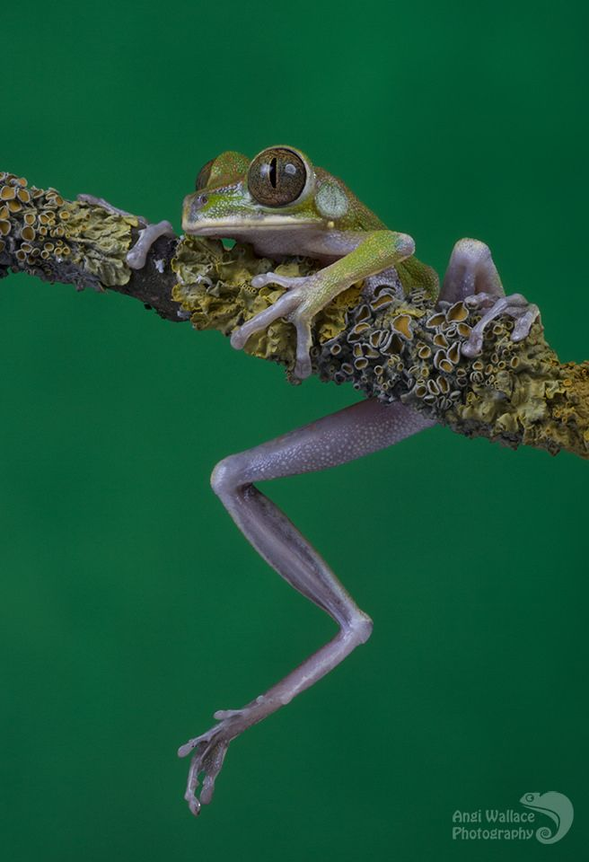 Big eyed tree frog Leptopelis vermiculatus by AngiWallace