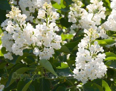 Mmmm white lilac purdy flower pinterest lilacs flowers and mmmm white lilac mightylinksfo