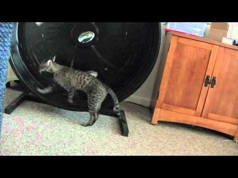 Savannah Cat Zuri Marches To The Beat Of Her Own Drum Hybrid