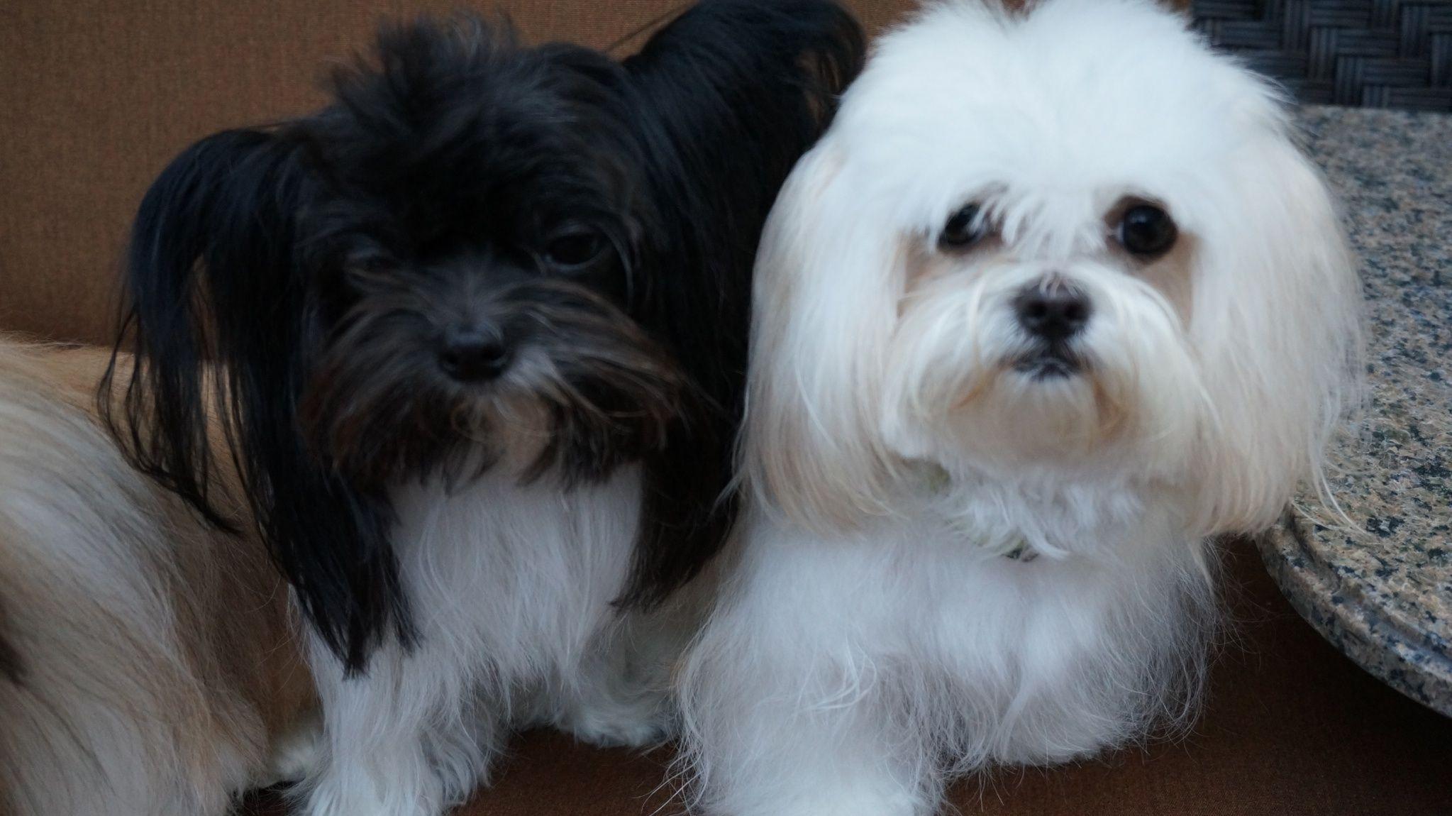 La di da di dee... 2 mommies Maltese dogs, Rare breed