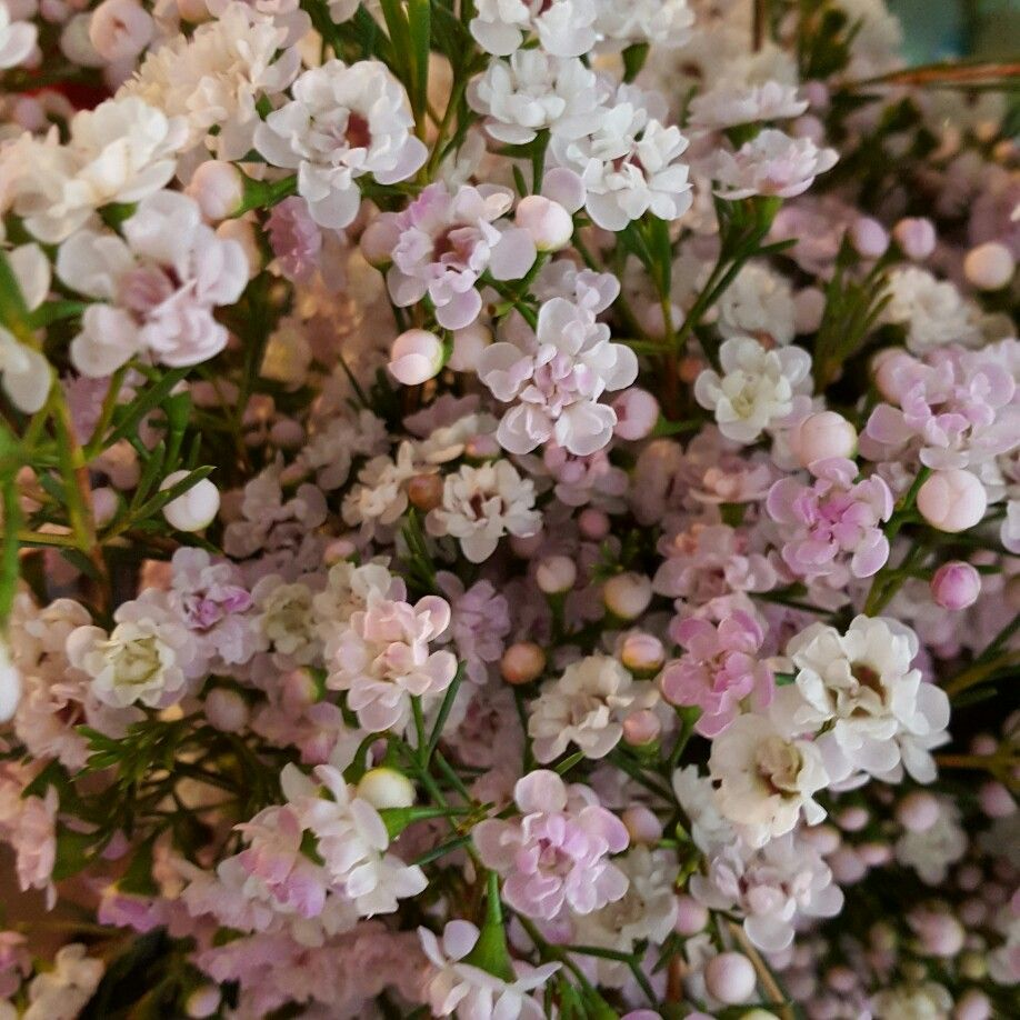 Pin by Molly & Myrtle on {Molly & Myrtle} Flower Glossary