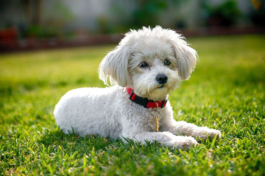 Maltese poodle by chris riesta on 500px maltipoo dog