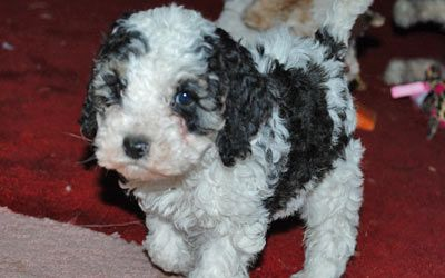 Petango Com Meet Fauna 7y 4m Poodle Toy Available For Adoption