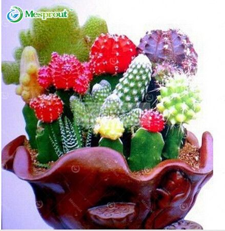 Mixture Of Cactus Seeds ,Echinopsis Flower Seeds, High Germination - 20 Seed particles