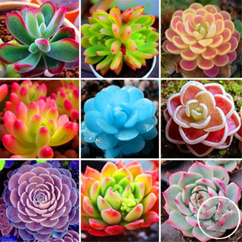 50 Pcs Mixed Succulents Seed Seeds Fruit Vegetables Flower Home Planting 2018