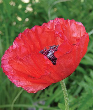 Brilliant Red Oriental Poppy Seeds And Plants Perennnial Flowers At Burpee Com Growing Poppies Flowers Perennials Planting Poppy Seeds