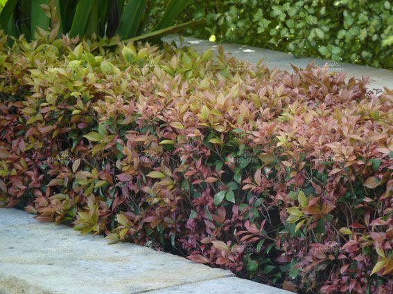 Acmena Allyn Magic Hedge Along Blueberry Ash Garden