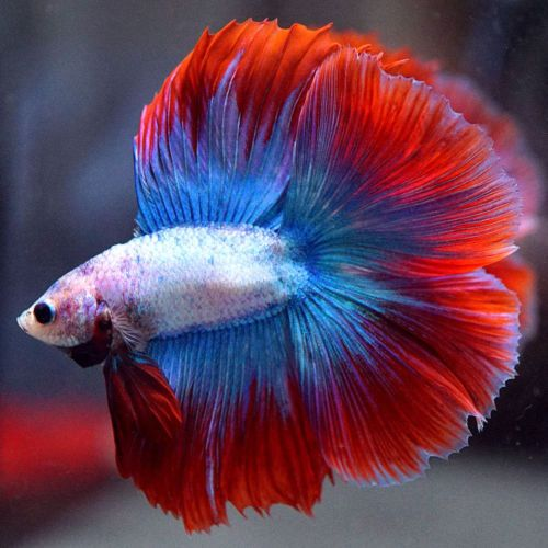 Grizzle 034 034 Double Tail Full Moon Male 12 Betta Fish Fish Pet Betta