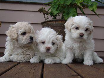 Bichon X Shih Tzu Puppies For Sale Bichon Shih Tzu Puppy
