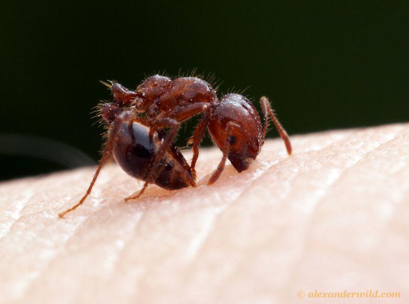 Solenopsis Invicta Fire Ant Bites Relief Ant Bites Fire Ant Bites