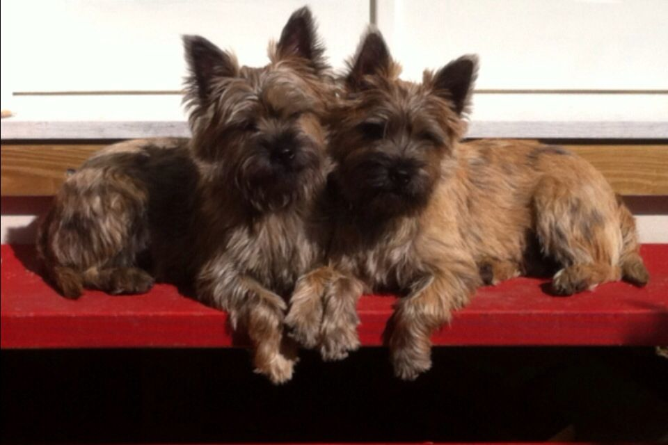 Bossie Betsy Our Naughty Pair Of Cairns Pet Corner Cairn Terrier Terrier