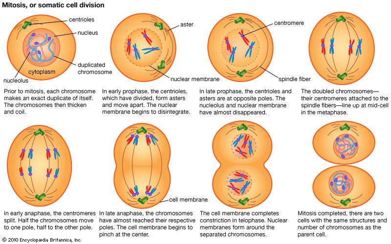 Mitosis Cell Division Phases | Mitosis, Cell definition ...
