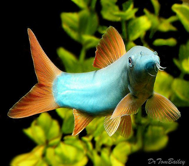 Aquarium Loaches For Sale Aquarium Fish Tropical Fish Aquarium Tropical Fish