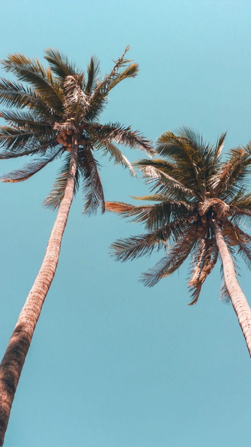 Tropical Palms Tree Wallpaper Iphone Palm Trees Wallpaper Tree Wallpaper Wallpaper palm trees on blue sky