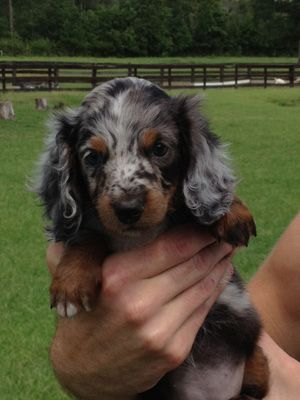 Long Haired Miniature Dachshund Love Her Color Dapple